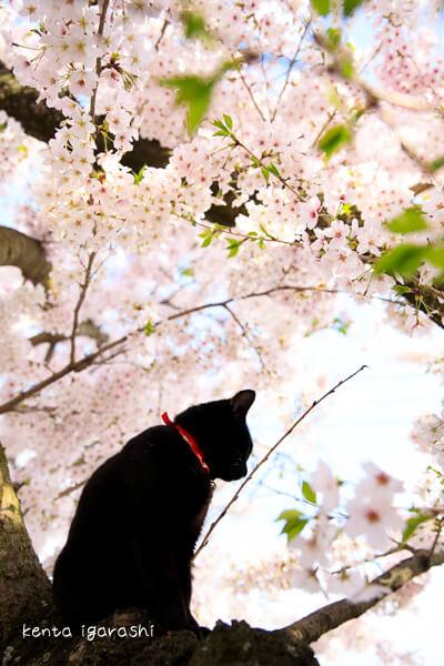 五十嵐健太さんの作品、満開の桜と黒猫