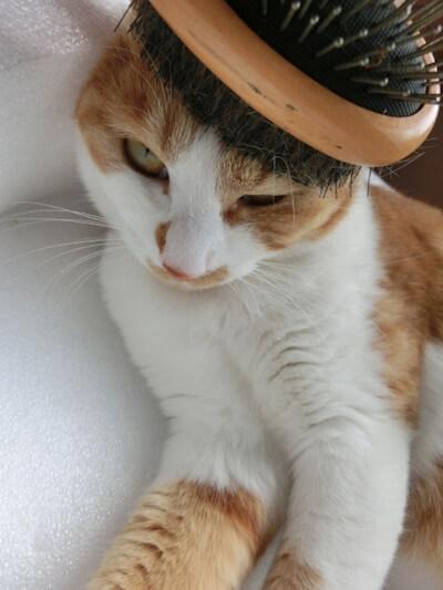 ブラッシングを嫌がる猫のイメージ写真