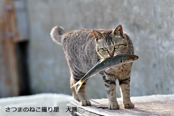 さつまのねこ撮り屋 大鷹さんの作品、魚をくわえる猫