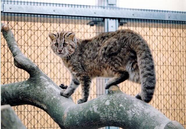 ツシマヤマネコのイメージ写真(環境省対馬野生生物保護センター提供)
