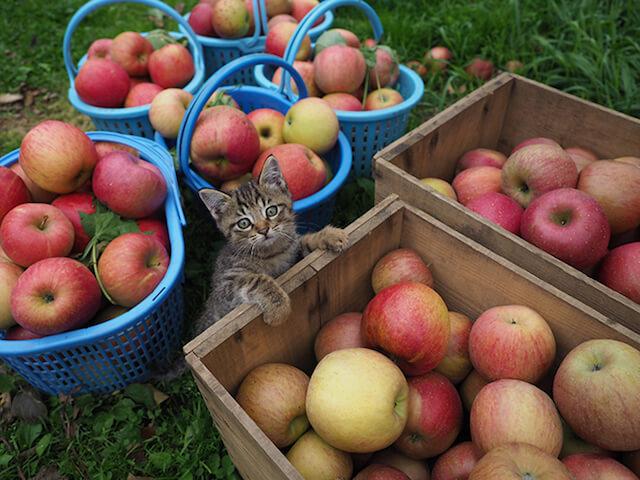 劇場版 岩合光昭の世界ネコ歩き、リンゴ農園の猫