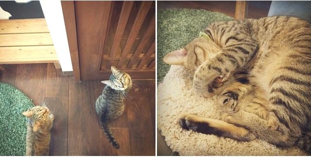 お見送り&爆睡するキジトラ