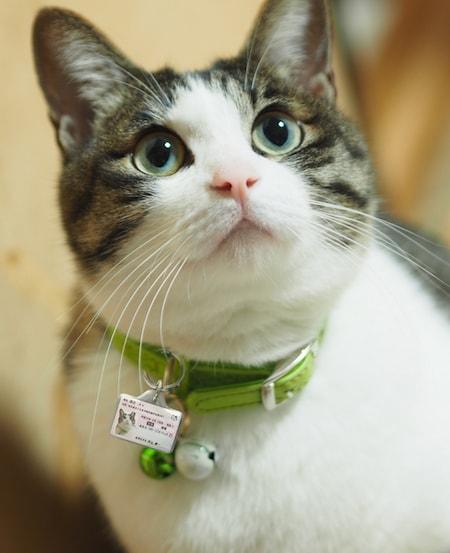 マイニャンバー迷子札を身に着けたキジ白猫