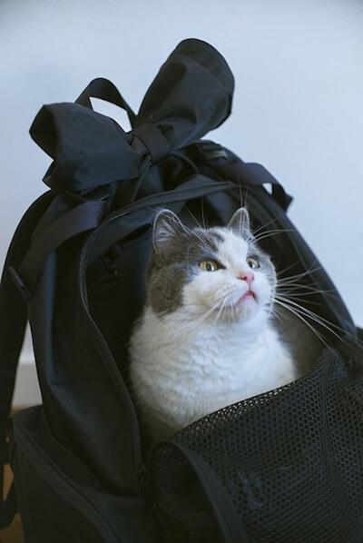 バックキャットパックの中に入る猫
