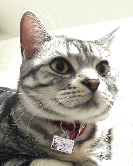マイニャンバー迷子札を首輪に装着した猫