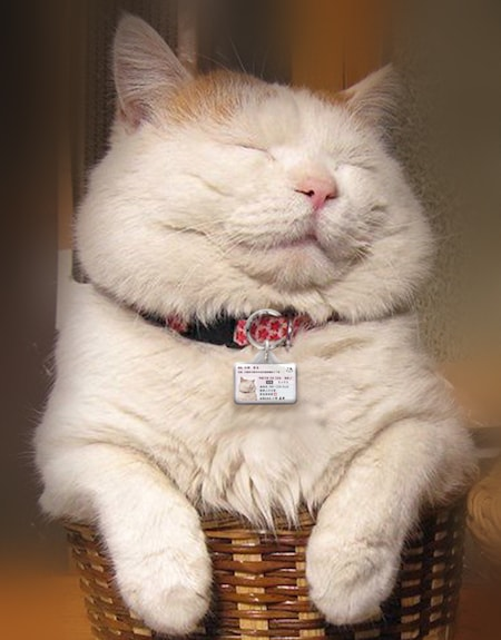 マイニャンバー迷子札を身に着けた茶白猫