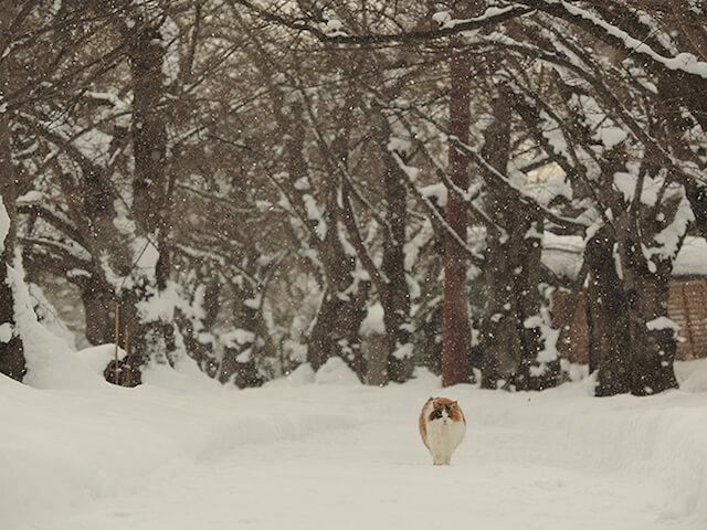 世界ネコ歩き「津軽の四季」雪の中を歩く猫
