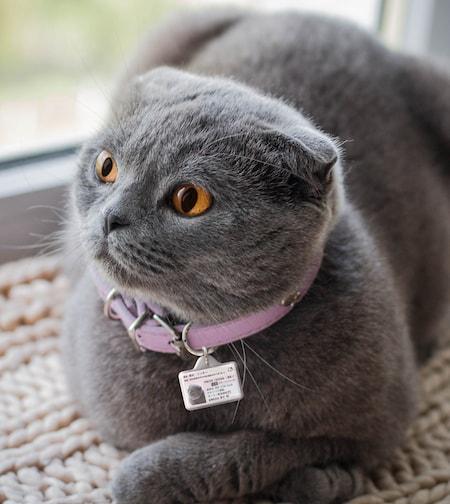 マイニャンバー迷子札を装着したグレー猫