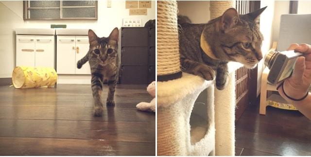 猫カフェ「cat cafe しましま屋」にいるキジトラたち