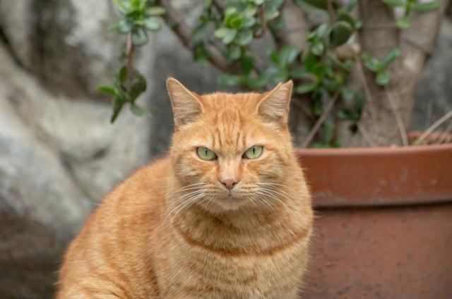 茶トラ - 猫のタイプ(毛色・毛柄・模様)