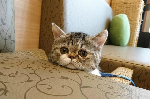 ラムキンの女の子 by 短足ネコ専門「猫カフェもふにゃん」