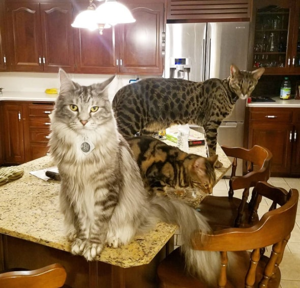 ギネス世界記録を持つ猫2匹を含む仲良し猫3匹