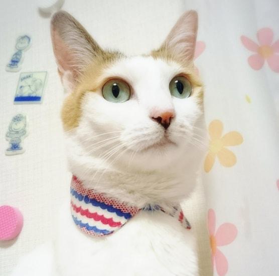 つけ襟を装着した猫