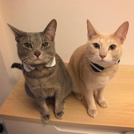つけ襟を身に付けた2匹の猫