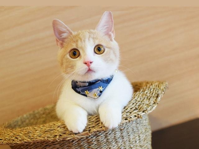 短足ネコ専門のお店「猫カフェもふにゃん」が東京・練馬にオープン