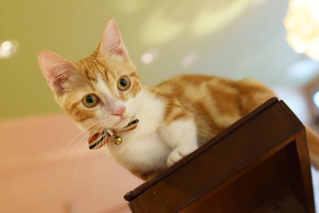 レッドタビー&ホワイトのマンチカン by 短足ネコ専門「猫カフェもふにゃん」