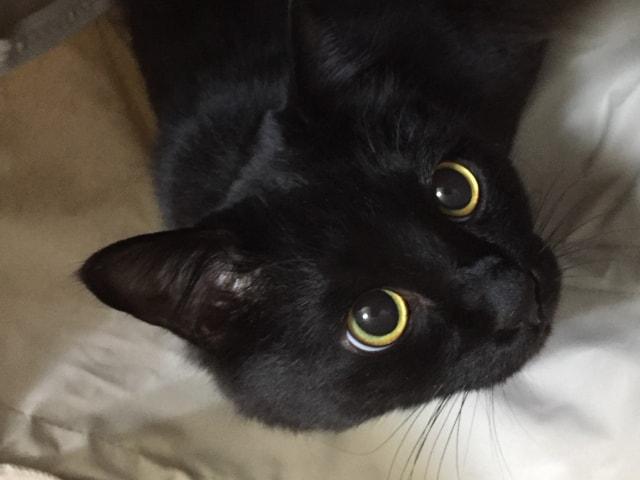 室内飼いの黒猫のイメージ写真