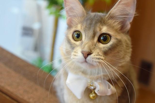 ブルーのマンチカン by 短足ネコ専門「猫カフェもふにゃん」