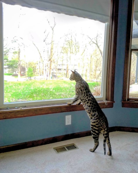 最も体高が高い猫としてギネス認定されたサバンナキャットのアークトゥルス