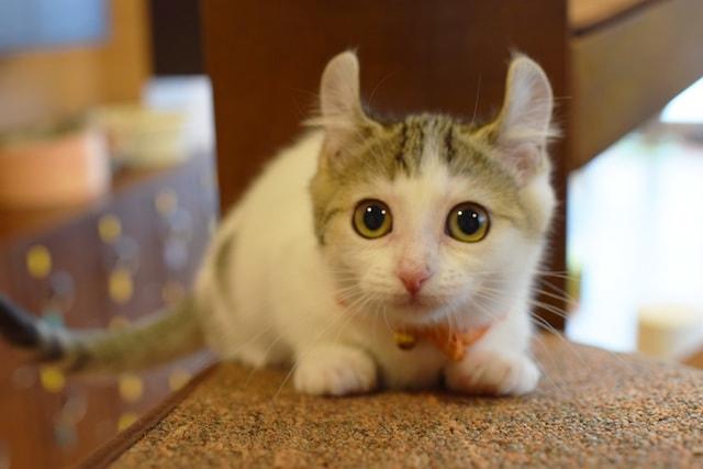 キンカロー by 短足ネコ専門「猫カフェもふにゃん」