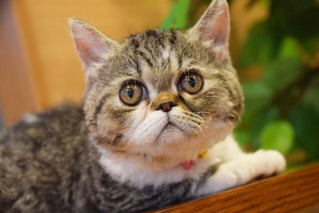 ラムキン by 短足ネコ専門「猫カフェもふにゃん」