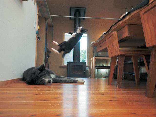 アクロバティックなジャンプを見せるハチワレ子猫の雷蔵 by 猫写真家・久方広之