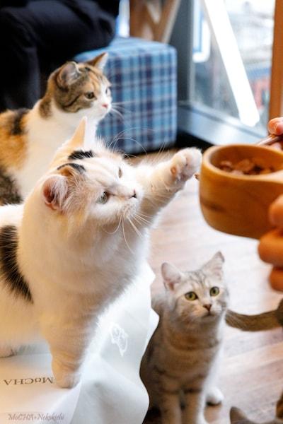 猫カフェ MoCHA(モカ)イオンレイクタウン店で、猫にオヤツをあげている様子