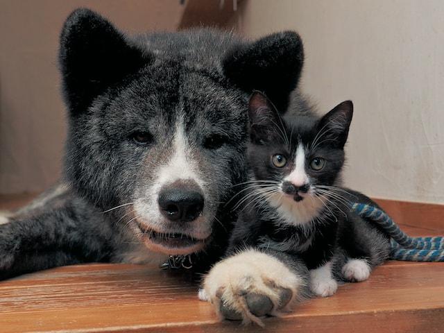 秋田犬と迷い猫、仲良しコンビのフォトブック「はちわれ兄弟」