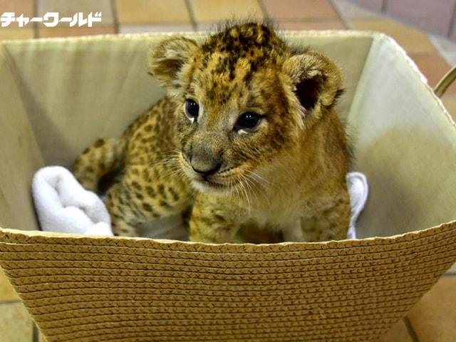 アドベンチャーワールド、ライオンの赤ちゃんの体重測定イベントを開催