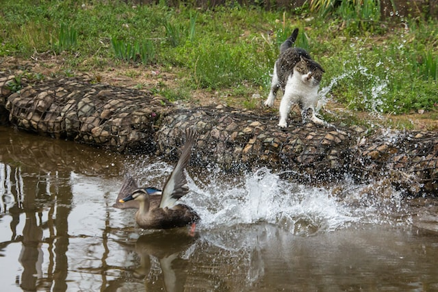 カモを捕まえるのに必死な猫の写真by 必死すぎるネコ