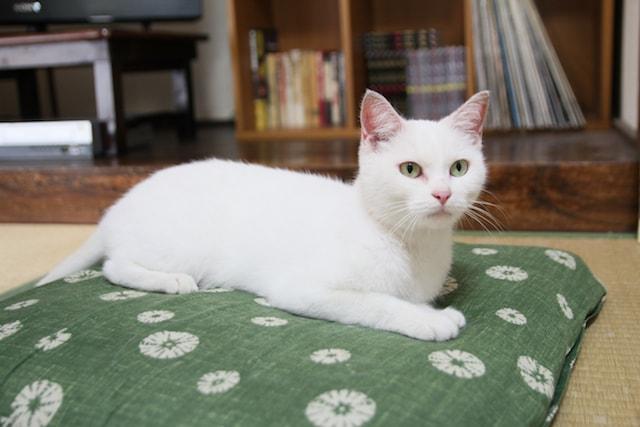 映画「愛しのノラ~幸せのめぐり逢い~」に登場する猫「シロ」