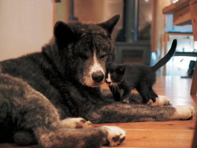 顔を寄せ合う秋田犬の「風雲丸」と子猫の「雷蔵」