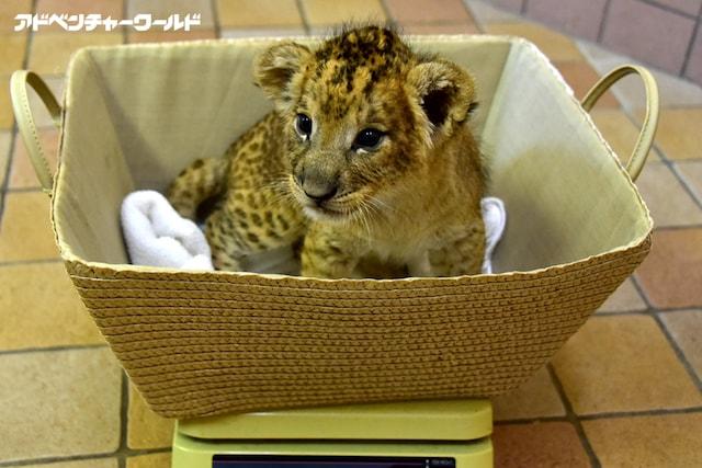 ライオンの赤ちゃんの体重測定の様子