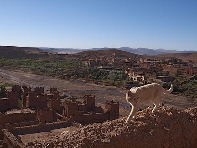 猫のインディゴ ♂ (モロッコ/アイト・ベン・ハドゥ)
