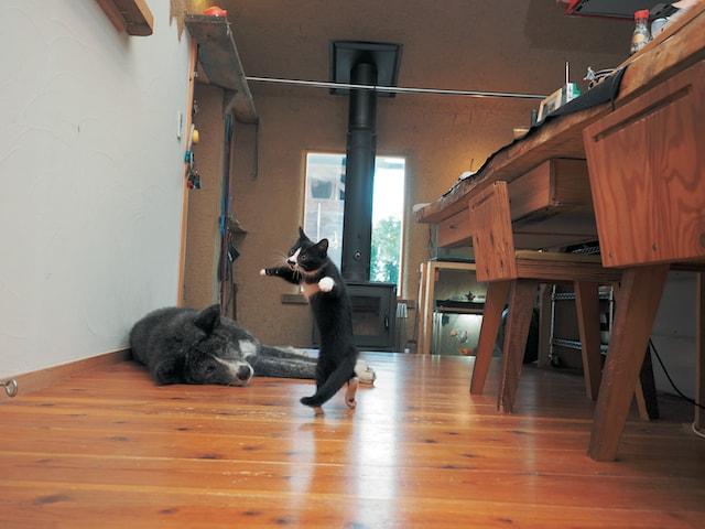 猫写真家・久方広之が撮影したハチワレ子猫の雷蔵
