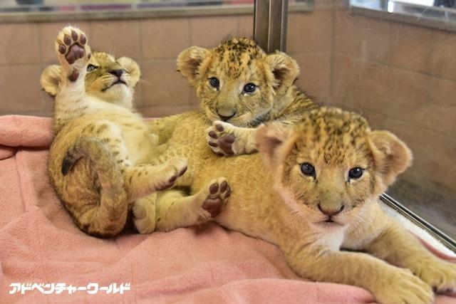 ライオンの三つ子の赤ちゃん by アドベンチャーワールド