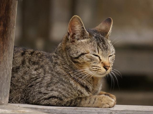 猫 性格 キジ