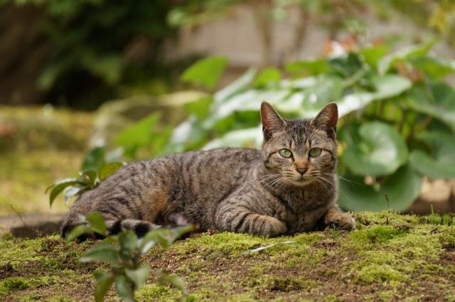 キジトラ、キジ猫、ヨモギ猫、藤猫(ふじねこ)、Brown Mackerel Tabby(ブラウンマッカレルタビー)、Black Mackerel Tabby(ブラックマッカレルタビー)の写真