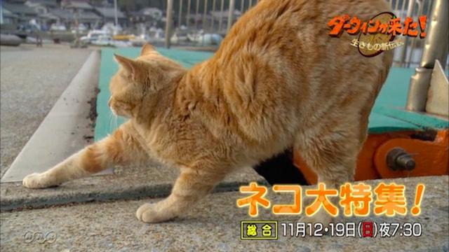NHKダーウィンが来た!2週連続ネコ大特集 in 相島