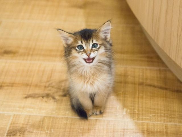 猫カフェMoCHA(モカ)新宿店の猫スタッフ(ソマリ)