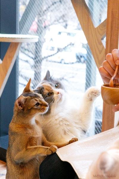 猫カフェMoCHA(モカ)新宿店の猫たち