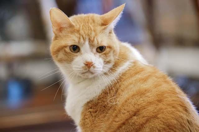 ドラマ「ブランケット・キャッツ」に出演した猫、キー