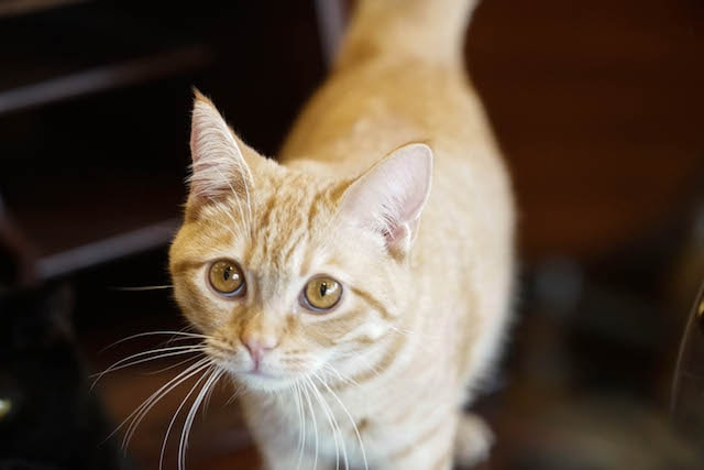 ドラマ「ブランケット・キャッツ」に出演した猫、ペコ