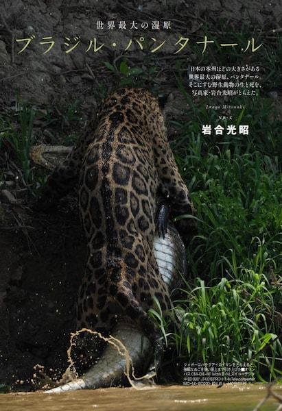 岩合光昭さんがブラジル・パンタナールで撮影した、ワニを狩るジャガーの写真