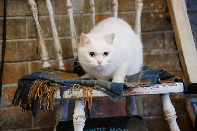 ドラマ「ブランケット・キャッツ」に出演した猫、たま