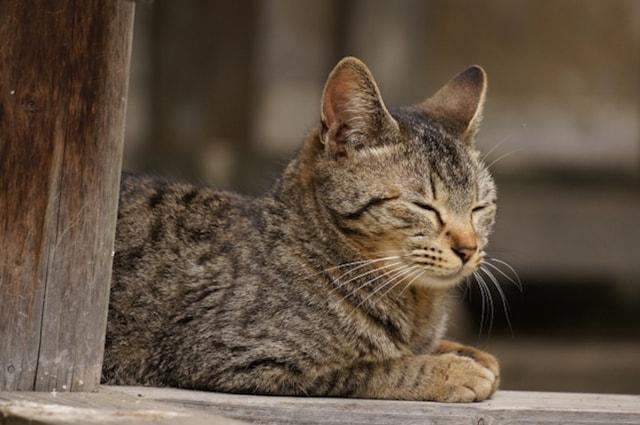日本のキジトラ・キジ猫の写真(AC)