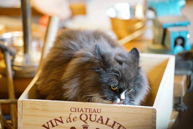 ドラマ「ブランケット・キャッツ」に出演した猫、チャイ
