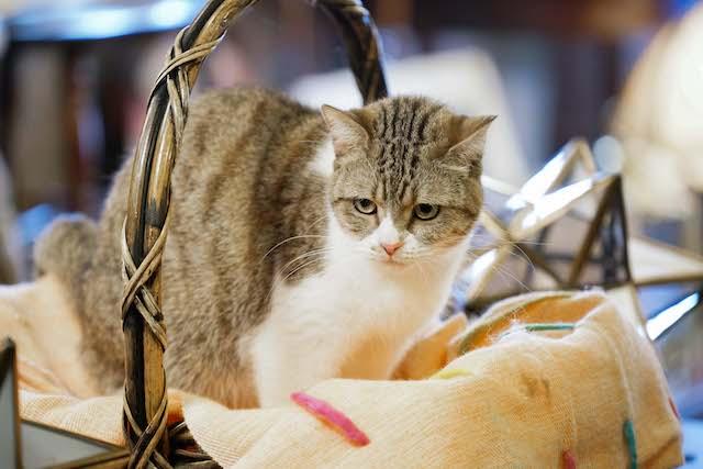 ドラマ「ブランケット・キャッツ」に出演した猫、ニャースケ