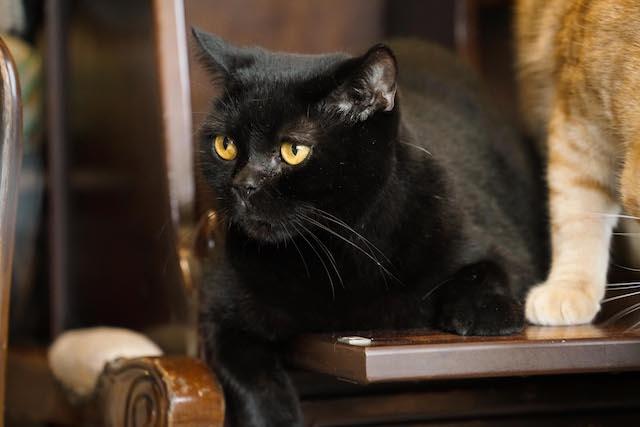 ドラマ「ブランケット・キャッツ」に出演した猫、クロ