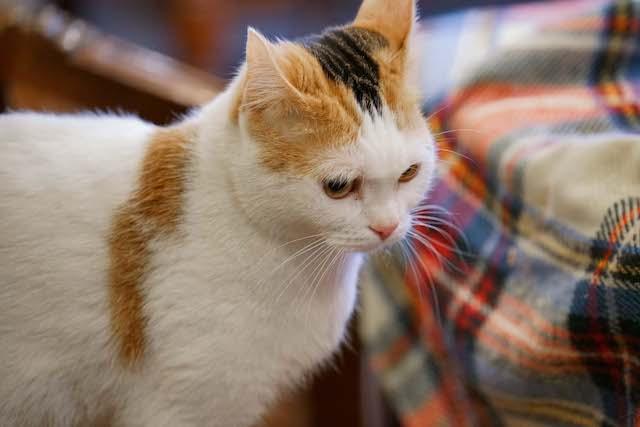 ドラマ「ブランケット・キャッツ」に出演した猫、みーこ